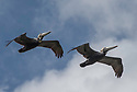 April 19 thru 21 2016 / Jupiter Florida and vicenity / Brown Pelican / Photo by Bob Laramie