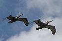 April 19 thru 21 2016 / Jupiter Florida and vicenity / Brown Pelican / Photo by Bob Laramie