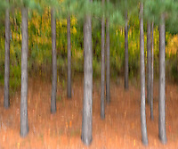 Trees on the edge of a forest are blurred by moving the camera as the photo was taken.