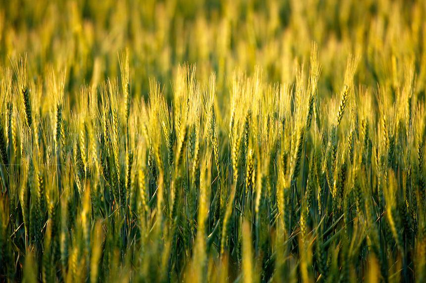 Wheat farmland near Ritzville, Eastern Washington