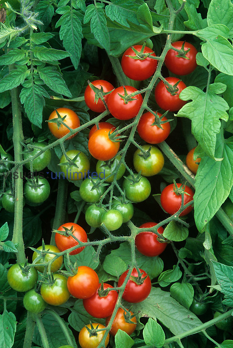 Cherry Tomatoes, 'Super Sweet 100' variety, green, ripe, and ripening.
