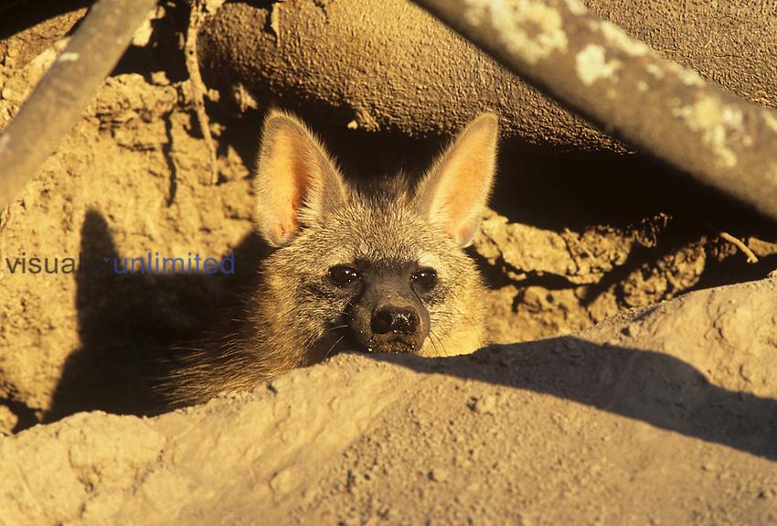 Aardwolf in its breeding den (Proteles cristatus), South Africa.