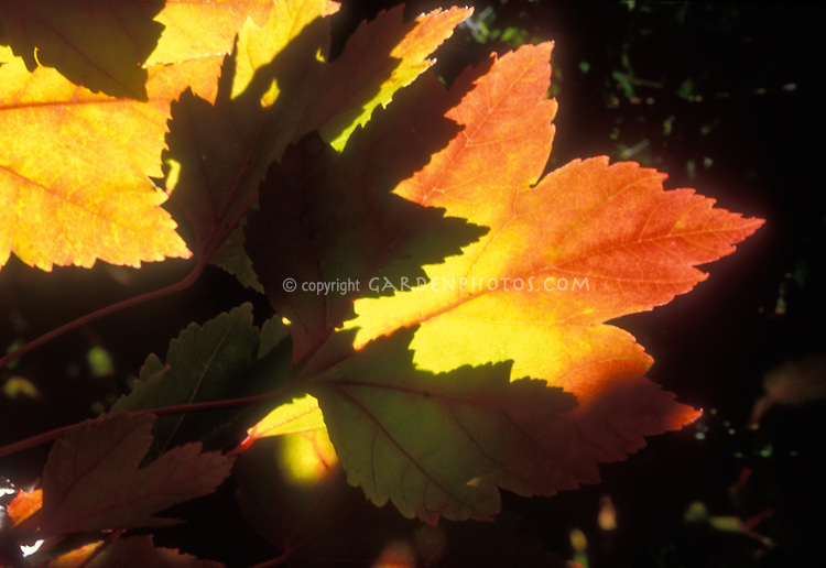 Acer rubrum 'October Glory' fall foliage color leaves closeup detail, red maple tree