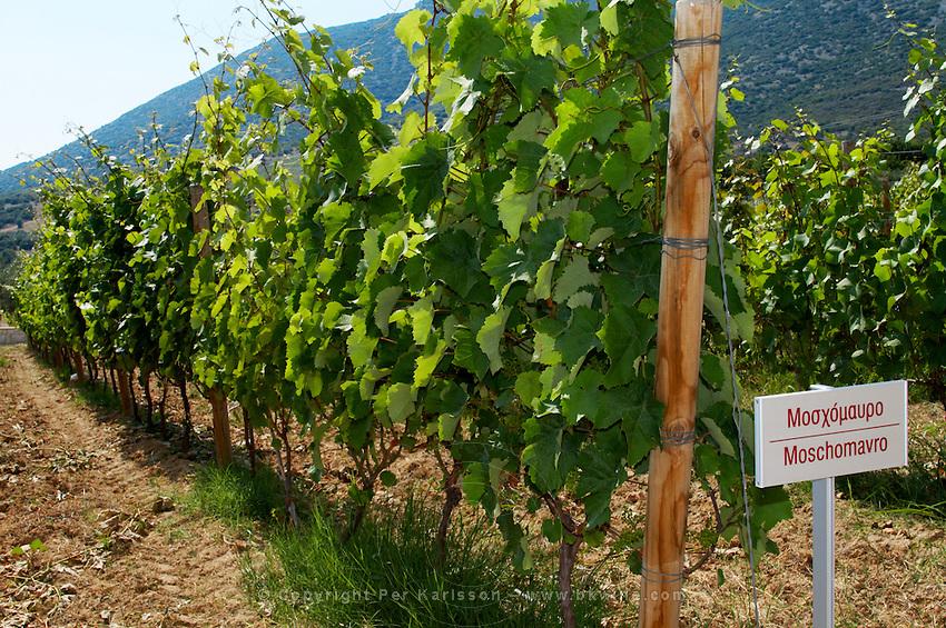 Vines. Moschomavro vine variety. Biblia Chora Winery, Kokkinohori, Kavala, Macedonia, Greece