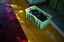 China - Ningxia - A case full of grapes that have just been harvested lies on the floor of the Helan Qingxue  Winery before being sorted.