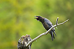 A fledgling raven is perched on a limb in a meadow in Banff National Park, Alberta, Canada.