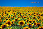 Tom Mackie, FLOWERS, photos, Field of Sun Flowers, Alpes de Haute, Provence, France, GBTM080179-1,#F# Garten, jardín