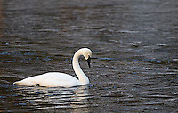 A trumpeter swan swims in the Madison River.