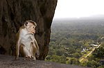 SIGIRYA ROCK FORTRESS, MATALE DISTRICT, CENTRAL PROVINCE, SRI LANKA...LION-ROCK, MONOLITH, HISTORICAL-SITE, UNESCO WORLD HERITAGE, RUINS, LANDSCAPE, SCENIC, ..TOQUE MONKEY, CEYLON-HUTAFFE, (MACACA SINICA),  MEERKATZENARTIGE, OLD WORLD MONKEYS, CERCOPITHECIDAE, 7/5 030,.NATURE, WILDLIFE, TREES, MAMMALS, ANIMAL, FAUNA, ..©Photo: Paul J.Trummer, Mauren / Liechtenstein www.travel-lightart.com