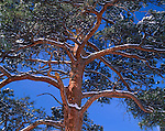 Snow-lined branches on a ponderosa pine tree (Pinus ponderosa) contrast against a clear blue sky in Rocky Mountain National Park, CO