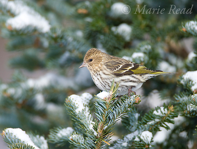 Pine Siskin (Carduelis pinus) perched in conifer, New York, USA