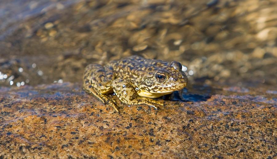 Mountain Yellow-Legged Frog, Sierra Nevada. CA