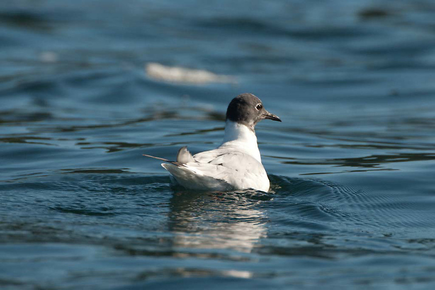 Bonaparte's Gull (Chroicocephalus philadelphia), Orcas Island, San Juan Islands, Washington, US