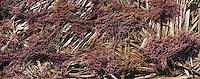 Afrique/Afrique de l'Est/Tanzanie/Zanzibar/Ile Unguja/Jambiani: Les algues que cultivent les femmes des pecheurs sont mises à sécher au soleil, elles serviront à l'industrie alimentaire ou pharmaceutique