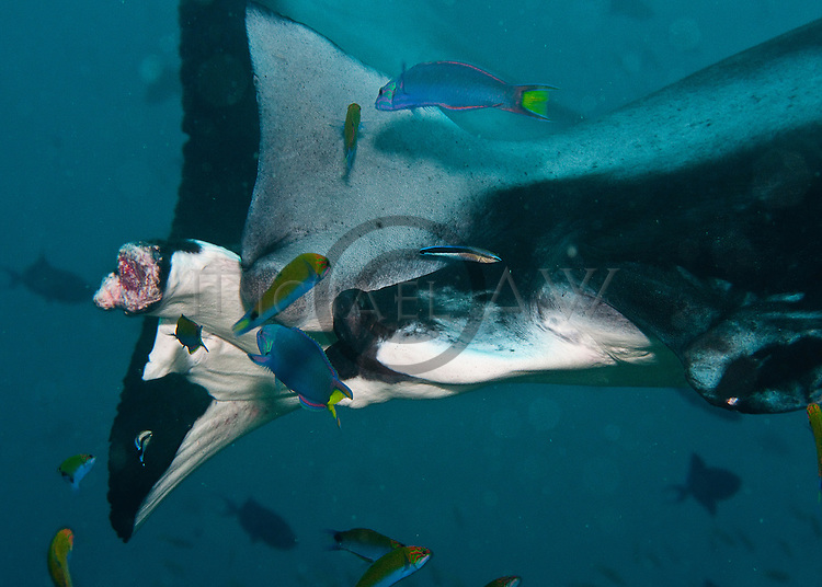Mantas (Manta birostis) predictably found Hanifaru Bay; cleaner fish cleaning manta.s wound on tail