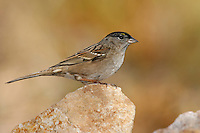 Golden-crowned Sparrow - Zonotrichia atricapilla - non-breeding adult