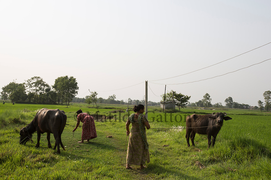 Nepal - Tharu villages - Women taking care of their buffalos. Most of the workers come from the Therai region of Nepal where very few working age male are left and where women end up living alone for years having to take care of the children, the land and do all sorts of jobs they were not used to do before. According to UN figures, 7,2 million Nepalis work abroad (4 millions of them in India). Half of them are undocumented, 1700 migrant workers leave Nepal every day, 2/3 dead bodies arrive at Kathmandu airport every day. According to the World Bank, in 2013 Nepal received more than 5 billion USD in remittances from abroad. This constitutes 24.7 percent of the GDP, the third highest percentage in the world after Tajikistan and Kyrgyzstan. A third of all Nepali households, and 35% of rural households, have at least one member working and living abroad. 24.8 percent of Nepalis still live under the poverty line. Nepali GDP per capita (PPP) stands at 1,102 USD, the twentieth lowest in the world. Since 1971, Nepal has been classified as one of the 48 least developed countries by the UN.