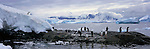 Gentoo penguins stand on Cuverville Island on the Antarctic Peninsula.