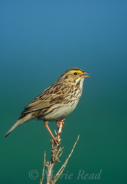 Savannah Sparrow (Passerculus sandwhichensis), male singing in spring, Ithaca NY, USA<br /> Slide # B164-438