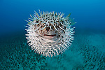 Spotted Porcupinefish (Diodon hystrix), Hawaii, USA.