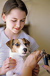 Jack Russell Terrier with young girl holding dog while dog is getting his nails cut