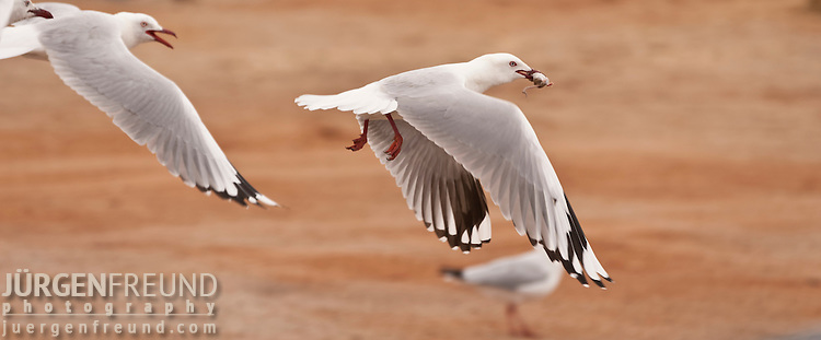 Seagull with a mouse in its mouth at Halligan Bay Lake Eyre. Halligan Bay on the south of Lake Eyre North, opportunistic seagulls hunt for anything they can eat from tourist food to the proliferation of mice in the area.