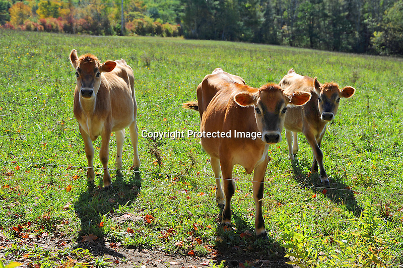 Three Beautiful Heifers Enjoying Afternoon Sunshine in a Pasture in Alstead, New Hampshire USA