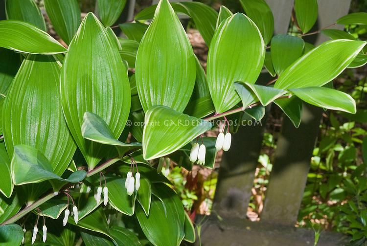 Polygonatum odoratum var  pluriflorum 'Variegatum' Solomon's
