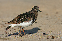 Black Turnstone - Arenaria melancephala - Adult in transition to breeding