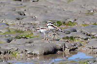 Black-Fronted Dotterel, Cairns oceanfront, Queensland, Australia