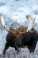 moose in willows with Chugach Mountains in Chugach State Park. Glenn Alps area of Anchorage, Alaska   November 2016<br /> <br /> Photo by Jeff Schultz/SchultzPhoto.com  (C) 2016  ALL RIGHTS RESVERVED