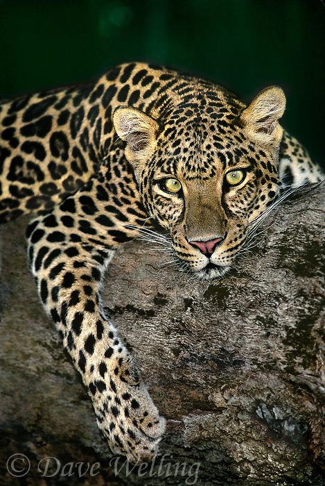 654304001 a wildlife rescue african leopard panthera pardus lays on a large tree limb at a rescue facility - species is native to sub-saharan africa and is endangered in the wild