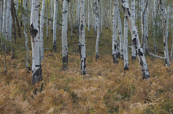 Aspen trees and ferns with fall colors, Uncompahgre National Forest, Colorado, USA