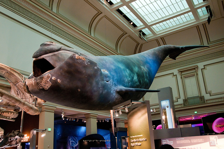 Natural Museum Of History Blue Whale Inside