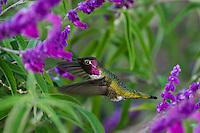 Male Anna's Hummingbird (Calypte anna) feeding on garden flower showing iridescent gorget feathers.  California.  Fall.