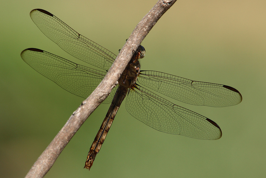 "This newly emerged Roseate Skimmer played peek-a-boo with me here. The image shows the intricate wing patterns of ""Nature's Tapestry""."