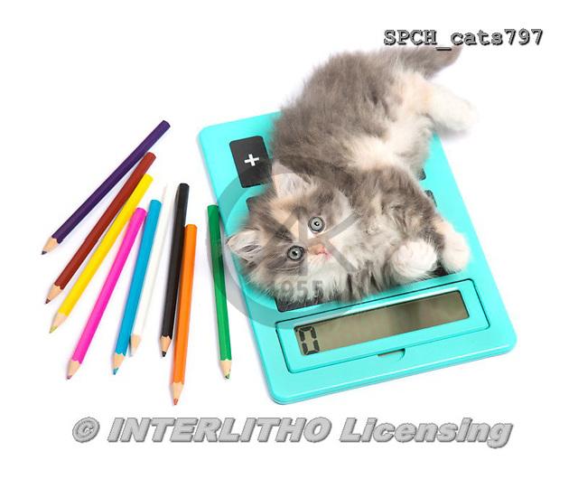 Xavier, ANIMALS, REALISTISCHE TIERE, ANIMALES REALISTICOS, cats, photos+++++,SPCHCATS797,#a#