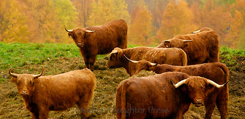 Herd of Scottish cattle looking at you, Plainfield Vermont, USA
