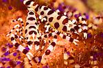 pair of Coleman shrimp, Periclimenes colemani, on a fire urchin, , Asthenosoma varium, Basura dive site, Anilao, Batangas, Philippines, Pacific Ocean