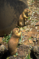 Black Tailed Prairie Dogs in Utah's Hogle Zoo. Utah, Hogle Zoo.