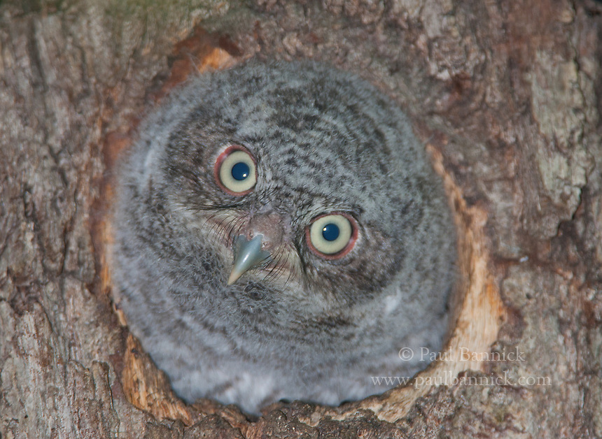 Screech Owls such as this young Eastern Screech Owl find Northern Flickers cavities to be the perfect size, so much so that Northern Flicker nest boxes also have the perfect-sized opening for Western and Eastern Screech Owls, as well as Saw-whet Owls.