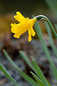 Daffodil (Narcissus 'Small Talk'), late March.