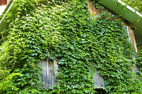 virginia creeper, parthenocissus quinquefolia, woody creeping vi, Natural flower