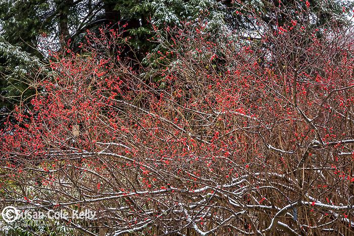 Snowy Winterberries at the Arnold Arboretum in the Jamaica Plain neighborhood, Boston, Massachusetts, USA