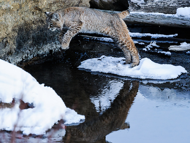 Red Lowland Bobcat leaping across water