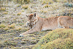 A puma grooms itself laying in the grass in Patagonia, Chile.