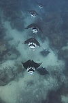 Manta Rays, Manta birostris, cruise down a channel in feeding formation, note scatter in the water from coral spawn, Goofnuw Channel, Valley of the Rays, Yap, Micronesia, Pacific Ocean