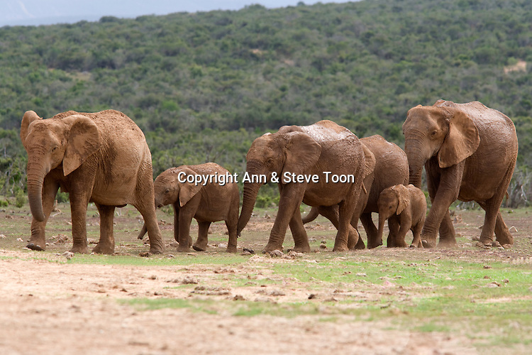 Elephants, Loxodonta africana, Addo national park, South Africa