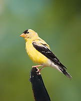 Male American Goldfinch perched on a bird shaped metal ornament