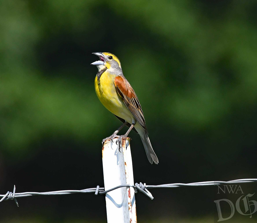 NWA Democrat-Gazette/FLIP PUTTHOFF <br />A dickcissel sings from a fence post. Terry Stanfill of the Decatur area took the picture in late May near his home.
